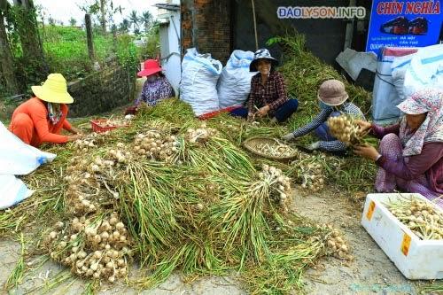 Đảo Lý Sơn vào mùa thu hoạch tỏi