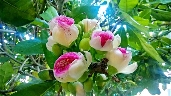 Không ít người quay lại Lý Sơn chỉ để tận mắt chứng kiến vẻ đẹp của hoa bàng vuông.