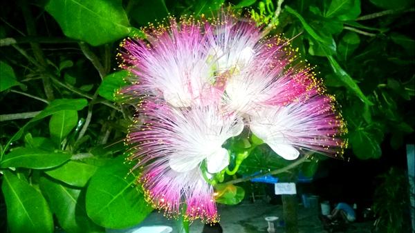 Tháng 5 là mùa hoa bàng vuông nở ở Lý Sơn.
