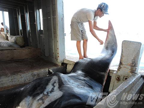 Cá khủng dài hơn 3m, nặng hơn nửa tấn được ngư dân Lý Sơn đánh bắt được