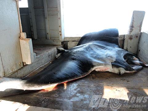 """Nhiều ngư dân cho biết, con cá """"khủng"""" được xem là lần đầu tiên được nhìn thấy tận mắt"""