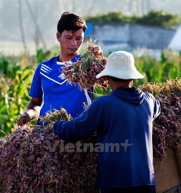 Người dân Lý Sơn hy vọng cứu vãn được phần nào mùa tỏi trong giai đoạn khô hạn.