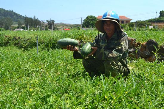 Những quả dưa chưa đến một ký là những gì anh Nguyễn Văn Thảo có thể vớt vát trên ruộng dưa để bù chi phí đầu tư.