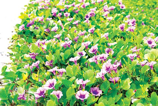 Hoa muống biển ở Lý Sơn.