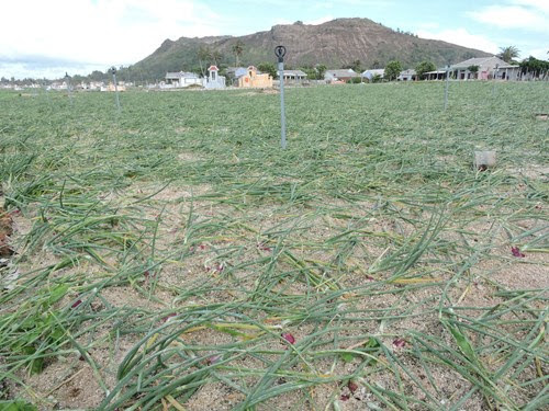 Đảo Lý Sơn bị thiệt hại nhiều tỷ đồng sau bão số 3 - Hình 6
