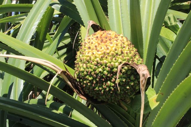 Dứa dại có tác dụng chữa bệnh cả rễ, đọt và quả.