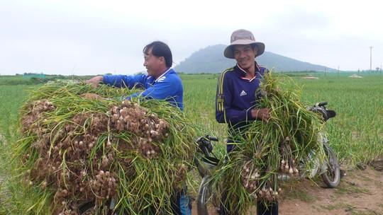 Nông dân Lý Sơn thu hoạch tỏi