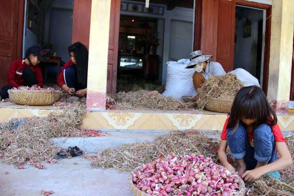Sản phẩm hành đang tiêu thụ mạnh trên đảo Lý Sơn.