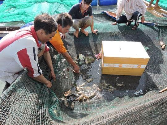 Các hộ nuôi tôm lo lắng vì tôm hùm chết hàng loạt.