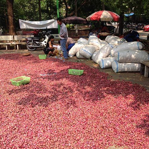 4 tấn hành tỏi này không thấm vào đâu so với 300 tấn hành tỏi đang còn tồn đọng tại Lý Sơn