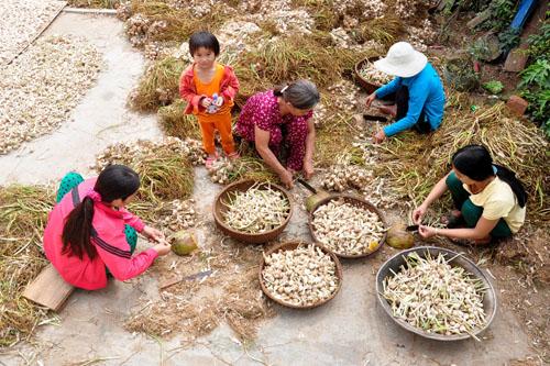 Hiện với giá bán dao động 40.000-50.000 đồng mỗi kg hành, tỏi Lý Sơn đã giảm 30.000 đồng so với năm 2014.