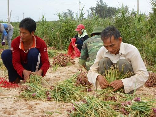 Nông dân Lý Sơn: Hành thu đông được mùa, được giá - Hình 1