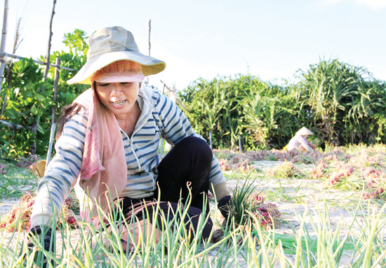 Sản xuất hành tỏi ở Lý Sơn trong những năm gần đây thường gặp khó khăn do thiếu nước tưới vào mùa nắng nóng.