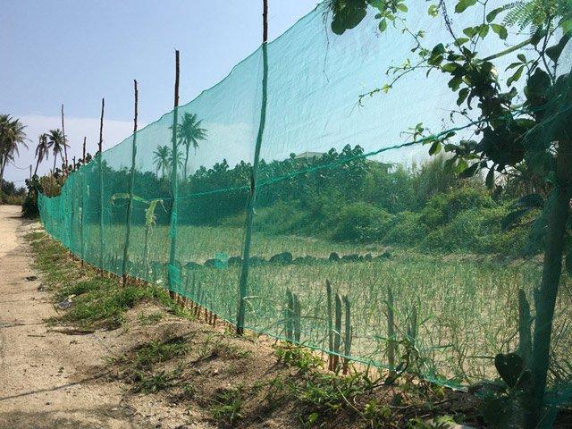 Đầu tư hàng triệu đồng để mua lưới chắn cho ruộng tỏi Lý Sơn - Hình 2
