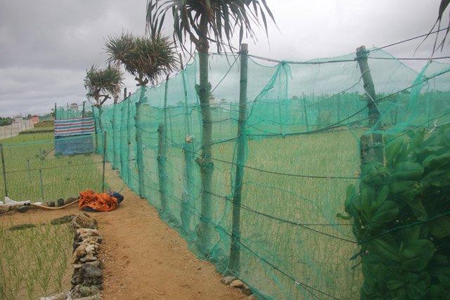 Đầu tư hàng triệu đồng để mua lưới chắn cho ruộng tỏi Lý Sơn - Hình 3