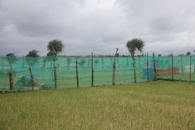 Đầu tư hàng triệu đồng để mua lưới chắn cho ruộng tỏi Lý Sơn - Hình 4