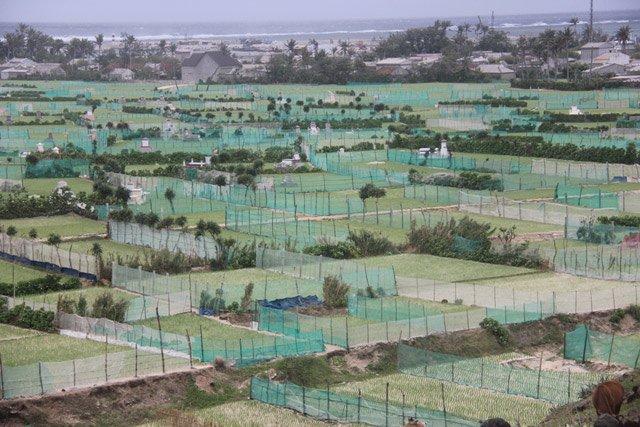 Một góc cánh đồng tỏi ở xã An Hải đã được người dân che bờ chắn bằng lưới để bảo vệ.