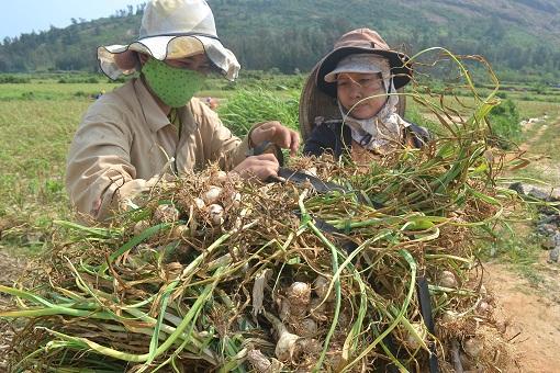 Khuyến nông, khuyến ngư góp phần xây dựng nông thôn mới ở Lý Sơn - Hình 1