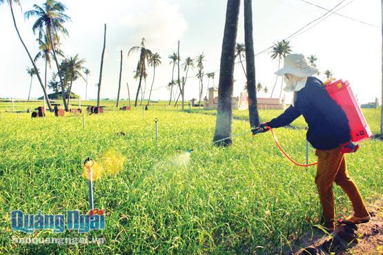Nông dân Lý Sơn chăm sóc cây hành vụ xuân hè.