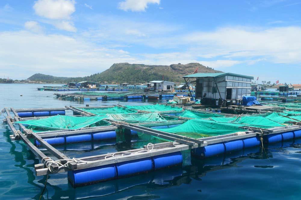Người dân đảo Lý Sơn đổ xô nuôi thủy sản trong lồng bè ẢNH: HIỂN CỪ