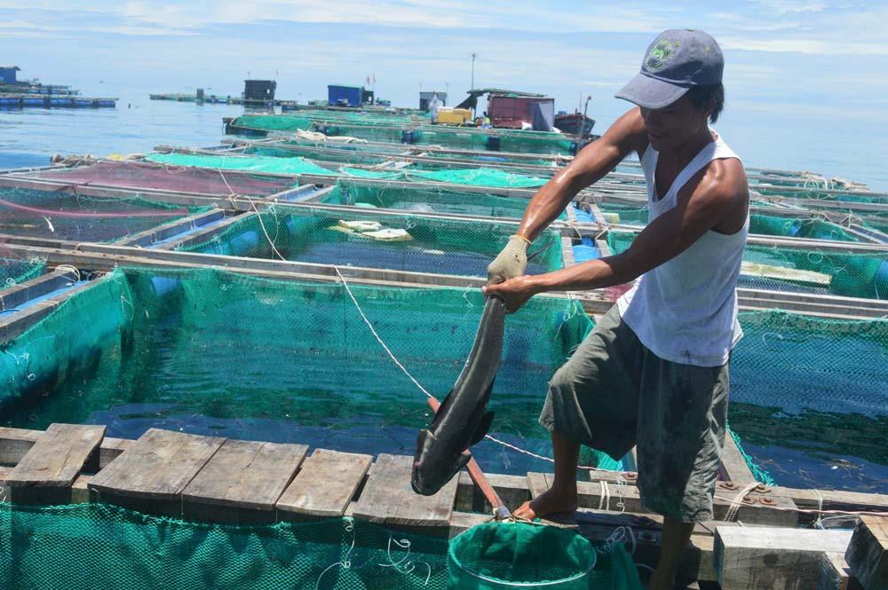 Cá bớp nuôi trong lồng bè ven đảo Lý Sơn