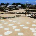 Những củ hành tỏi Lý Sơn được trồng trên cát trắng phẳng lỳ