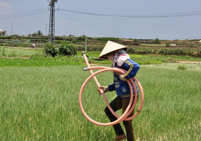 Cánh đồng thôn Đông, xã An Vĩnh, huyện đảo Lý Sơn- nơi hai người dân bị điện giật nguy kịch. Ảnh: Minh Hoàng.