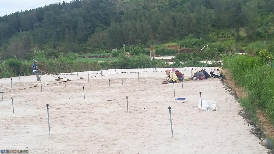 Diện tích trồng tỏi ở Lý Sơn đang bị thu hẹp.