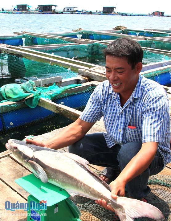 Thu hoạch cá bớp tại bè nuôi ở đảo Lý Sơn.