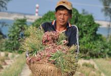 Người dân Lý Sơn thu hoạch hành tím ở Lý Sơn