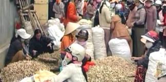 Người dân Lý Sơn đang đóng bao tỏi trồng trên đảo.