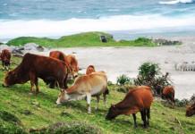 Trong tương lai gần, đảo Lý Sơn sẽ không còn những đàn bò chăn thả rông như thế này.