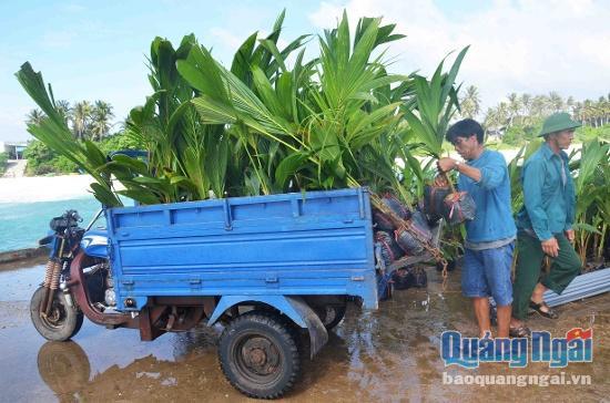 Hằng trăm cây dừa giống vừa được vận chuyển về đảo Bé.
