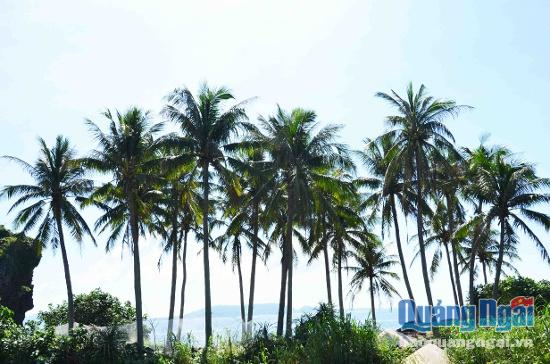 Những hàng dừa vừa giữ đất, chắn gió, vừa tạo cảnh quan đẹp cho hòn đảo.
