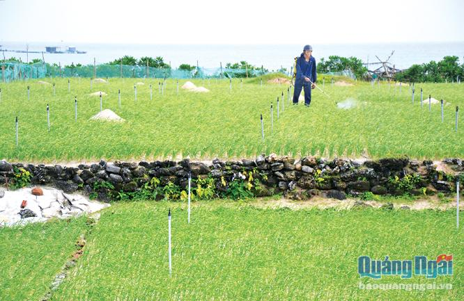 Thời tiết thất thường đã gây khó khăn cho việc phòng trừ sâu bệnh cho cây tỏi.