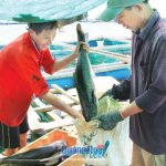 Thương lái thu mua cá bớp tại bè nuôi ở đảo Lý Sơn.