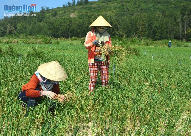 Mới đầu vụ, nông dân sẽ lựa nhổ những bụi tỏi vừa chín tới. Đến tháng Hai âm lịch mới bắt đầu thu hoạch rộ.