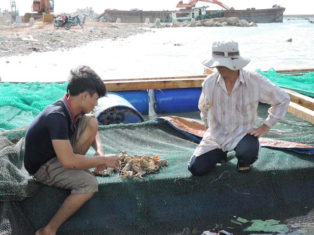 Tỷ lệ hao hụt từ lúc nuôi đến lúc thu hoạch lên đến 50% khiến người nuôi tôm hùm ở Lý Sơn lỗ nặng.