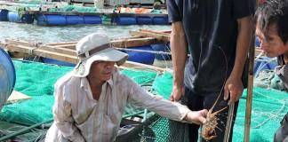 Nhiều hộ nuôi tôm hùm ở Lý Sơn thua lỗ tiền tỉ.