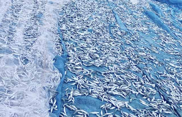 Cá cơm quế