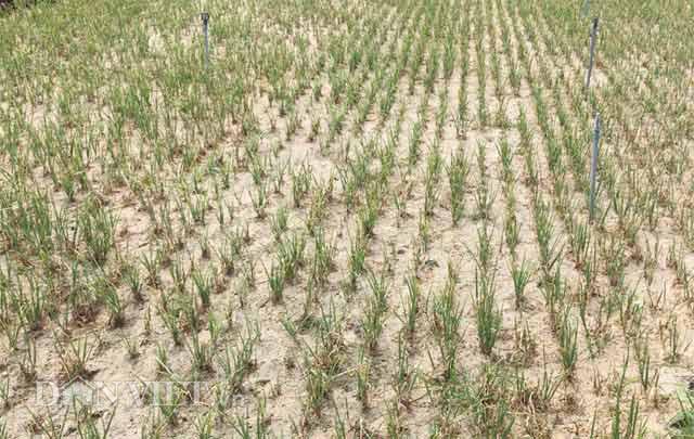Một ruộng hành trồng bị trụi gần hết do bệnh lươn rũ