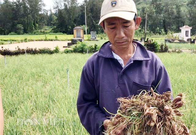 """Người trồng hành Lý Sơn đang """"méo mặt"""" vì hành bị bệnh lươn rũ"""