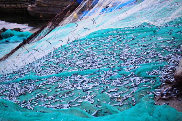 Cá cơm quế mang về nguồn thu nhập khá cao cho ngư dân đánh bắt ven bờ ở Lý Sơn.