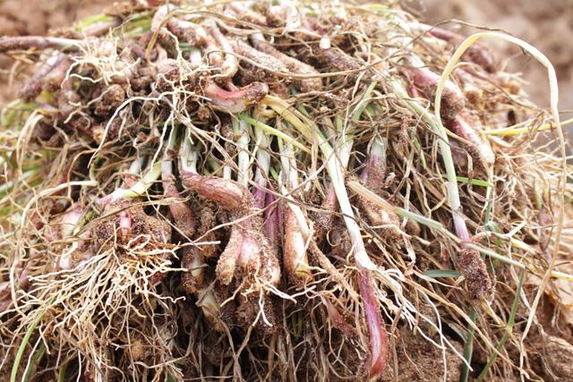 Bệnh thối rễ gây thiệt hại nặng cho người trồng hành ở Lý Sơn