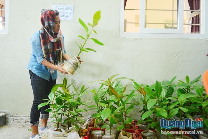 Nhiều du khách đến Lý Sơn rất thích cây bàng vuông và tìm mua về trồng. ẢNH: Ý THU