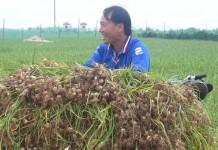 Huyện đảo Lý Sơn hướng tới mở rộng trồng tỏi hữu cơ.