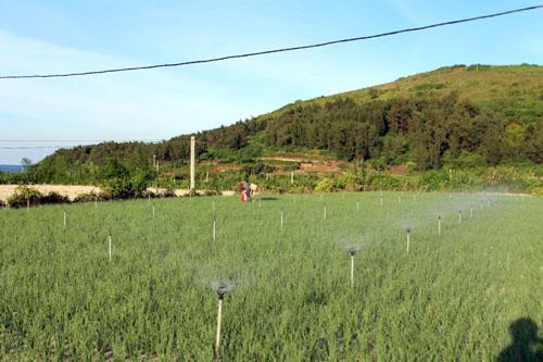 Hầu hết các thửa ruộng ở đảo Lý Sơn đã được áp dụng công nghệ tưới phun