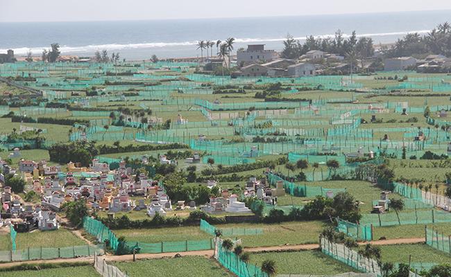 Những ruộng tỏi chiếm nhiều diện tích đất đảo, phá rặng san hô ven bờ, làm hụt mạch nước ngầm, gây ô nhiễm môi trường vì thuốc trừ sâu, đất thải