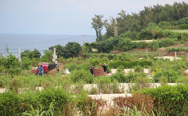 Hoạt động nông nghiệp trồng hành tỏi chiếm nhiều diện tích đất và đe dọa ngày càng nhiều nguồn nước ngầm trên đảo
