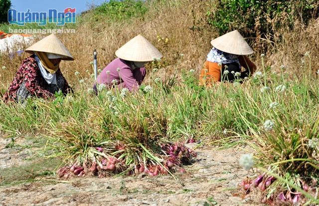 Người dân Lý Sơn đang khẩn trương thu hoạch hành tím
